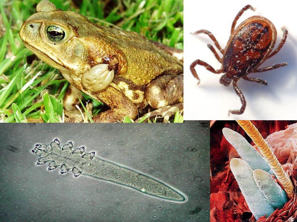 Crustáceos Aquáticos ou terrestres (úmidos) Corpo dividido em cefalotórax e abdômen Dois pares de antenas 10 patas (pode variar) Unissexuados Desenvolvimento indireto