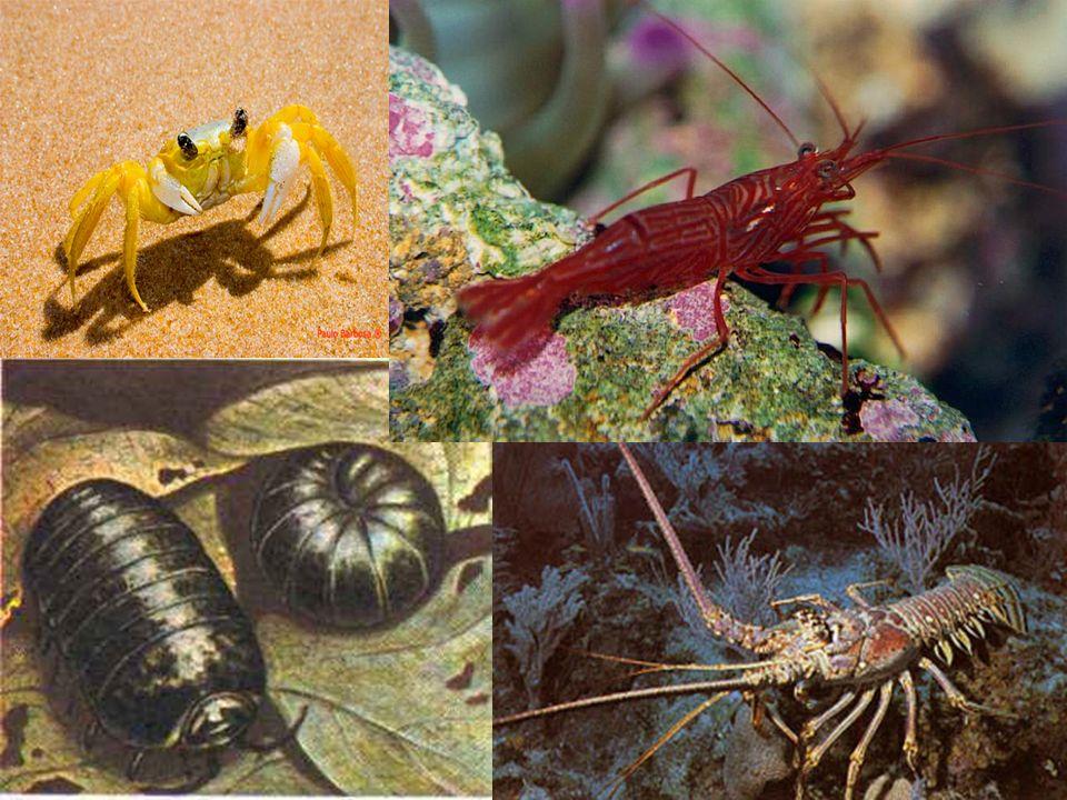 Quilópodes corpo segmentado dividido em cabeça e tronco 1 par de patas por segmento do corpo 1º par: forcípulas (veneno) Ex: centopéias ou lacraias Diplópodes Herbívoros e se enrolam em espiral.