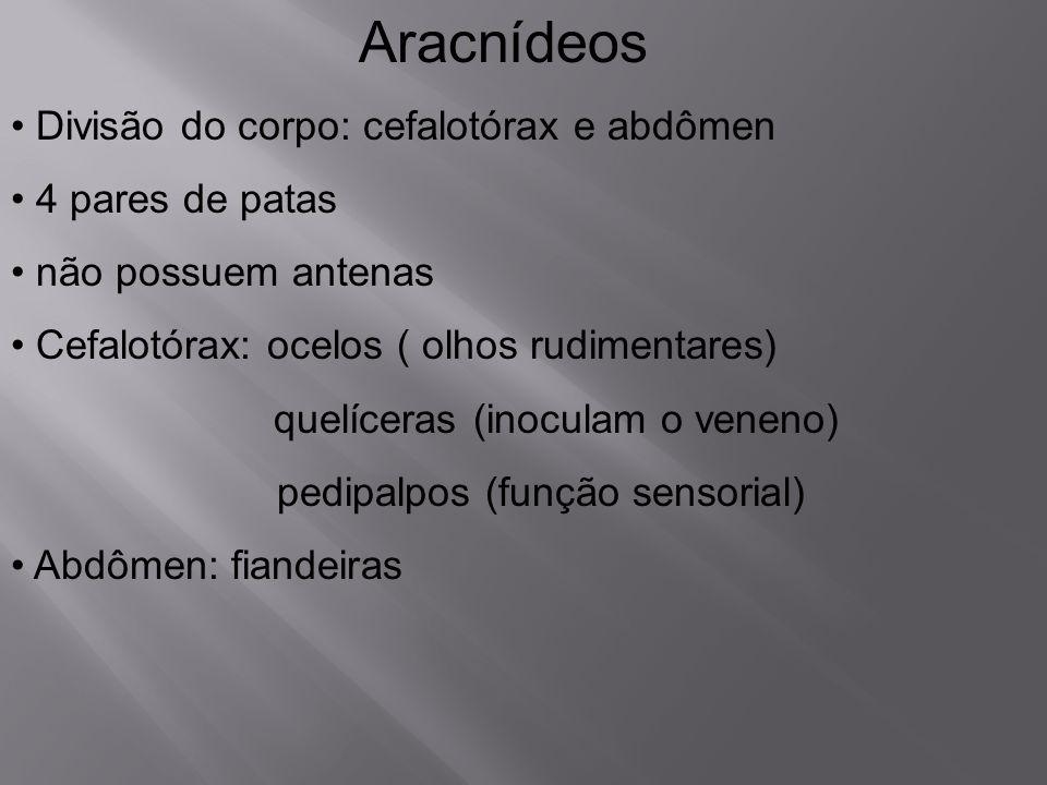 Aracnídeos Divisão do corpo: cefalotórax e abdômen 4 pares de patas não possuem antenas Cefalotórax: ocelos ( olhos rudimentares) quelíceras (inoculam