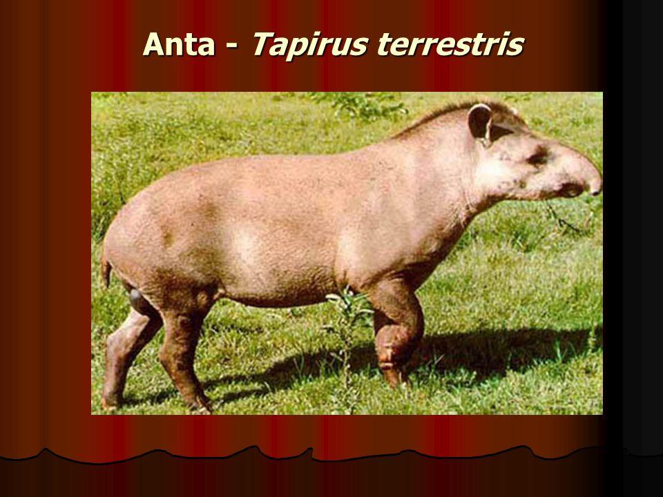 Anta - Tapirus terrestris