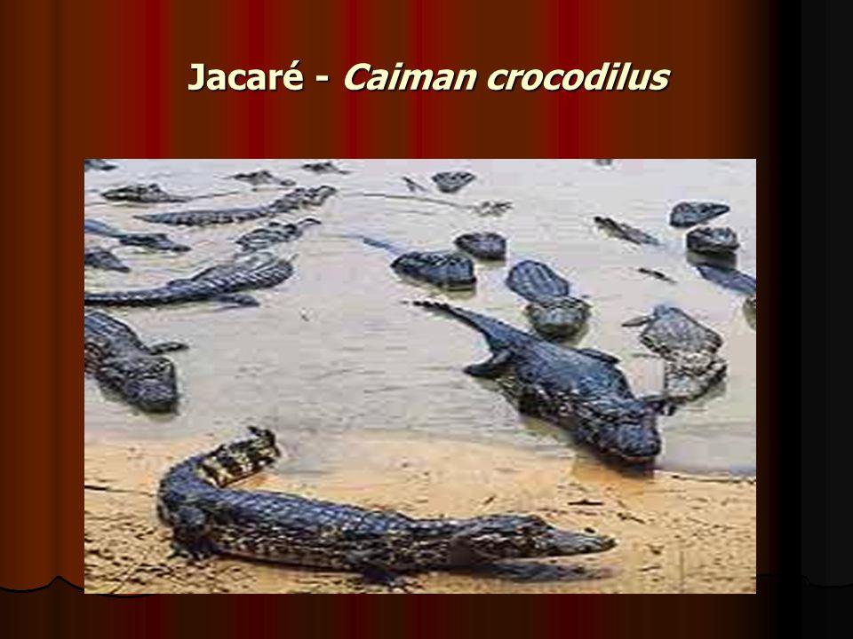 Jacaré - Caiman crocodilus