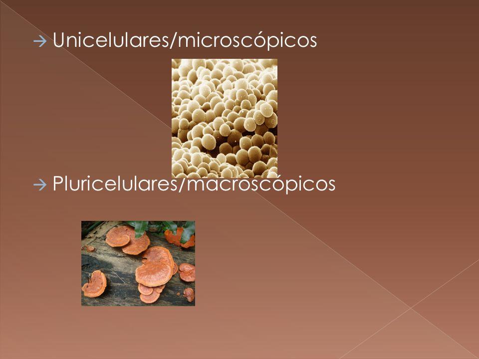 Unicelulares/microscópicos Pluricelulares/macroscópicos