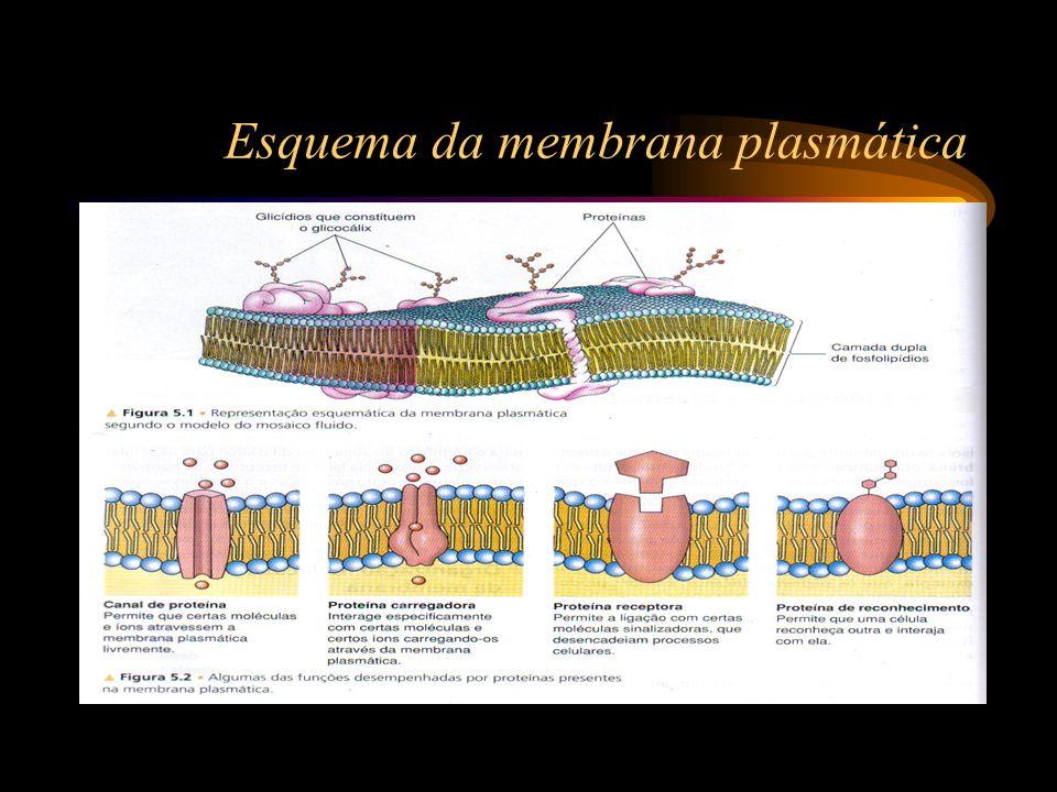Esquema da membrana plasmática