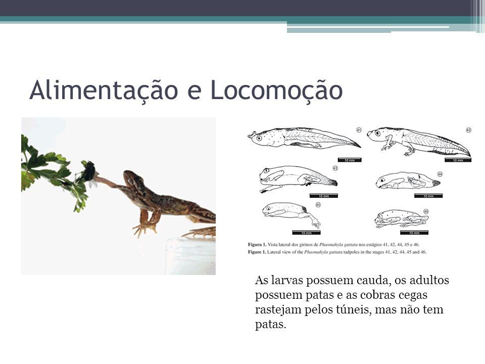 Alimentação e Locomoção As larvas possuem cauda, os adultos possuem patas e as cobras cegas rastejam pelos túneis, mas não tem patas.