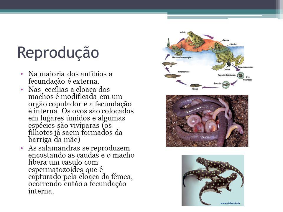 Reprodução Na maioria dos anfíbios a fecundação é externa. Nas cecílias a cloaca dos machos é modificada em um orgão copulador e a fecundação é intern