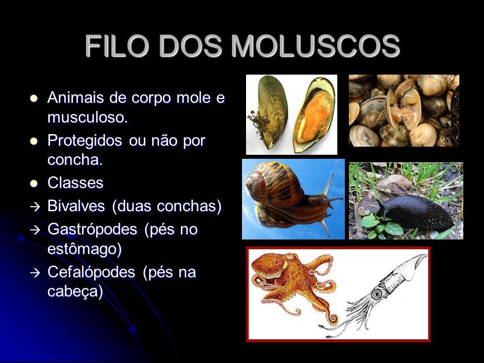 FILO DOS MOLUSCOS Animais de corpo mole e musculoso. Animais de corpo mole e musculoso. Protegidos ou não por concha. Protegidos ou não por concha. Cl