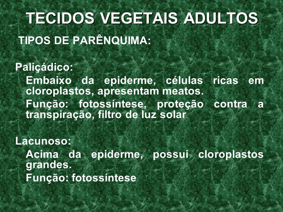 TECIDOS VEGETAIS ADULTOS TIPOS DE PARÊNQUIMA: Paliçádico: Embaixo da epiderme, células ricas em cloroplastos, apresentam meatos.