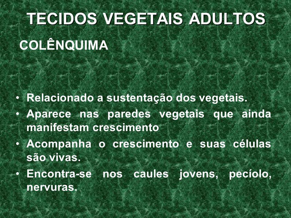 TECIDOS VEGETAIS ADULTOS COLÊNQUIMA Relacionado a sustentação dos vegetais.