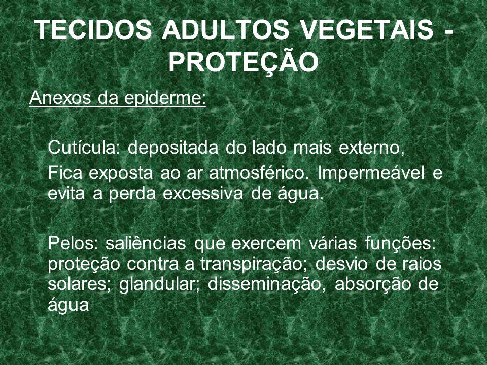 TECIDOS ADULTOS VEGETAIS - PROTEÇÃO Anexos da epiderme: Cutícula: depositada do lado mais externo, Fica exposta ao ar atmosférico.