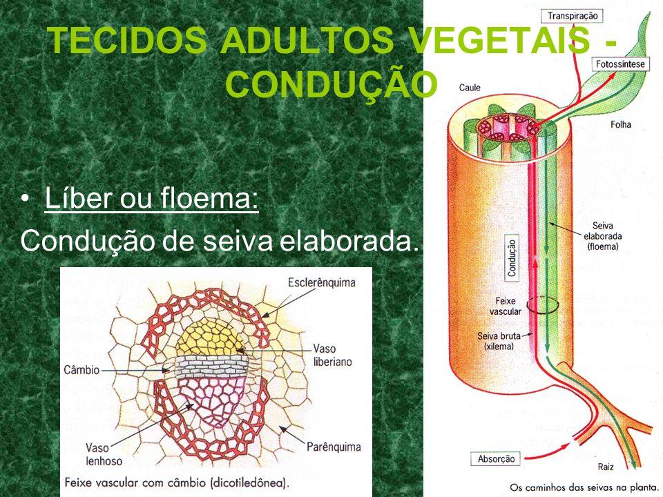 TECIDOS ADULTOS VEGETAIS - CONDUÇÃO Líber ou floema: Condução de seiva elaborada.
