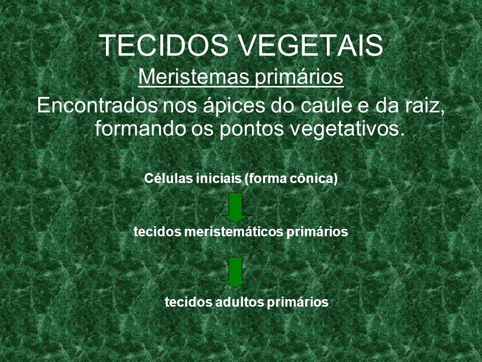 TECIDOS VEGETAIS Zonas meristemáticas primárias (da periferia para o centro): CÉLULAS INICIAIS Dermatogênio Periblema Pleroma epiderme ParênquimaTecido vasculares