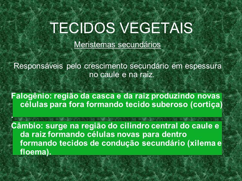 TECIDOS VEGETAIS Meristemas secundários Responsáveis pelo crescimento secundário em espessura no caule e na raiz.
