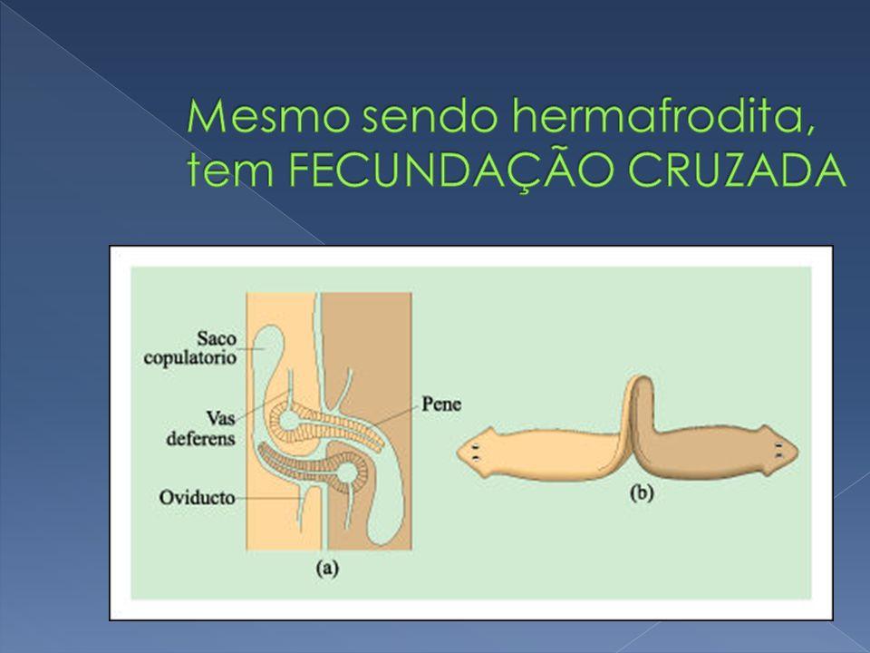 Schistossoma mansoni (esquistossomo) 1 cm de comprimento Causa esquistossomose (ou barriga d´água ou bilhariose).