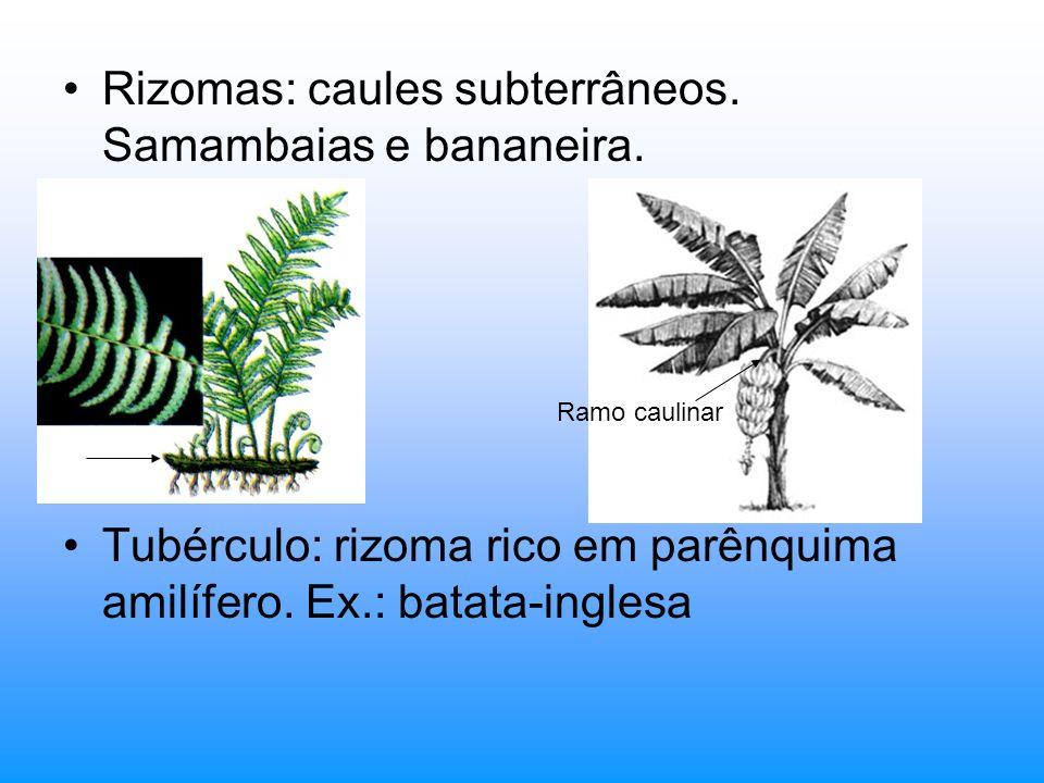 Rizomas: caules subterrâneos. Samambaias e bananeira. Tubérculo: rizoma rico em parênquima amilífero. Ex.: batata-inglesa Ramo caulinar
