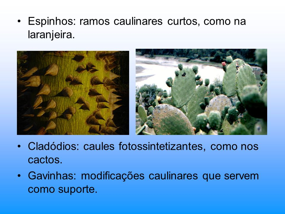 Espinhos: ramos caulinares curtos, como na laranjeira. Cladódios: caules fotossintetizantes, como nos cactos. Gavinhas: modificações caulinares que se