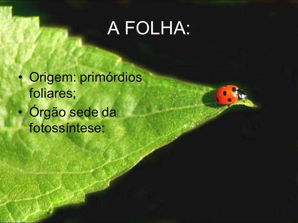 A FOLHA: Origem: primórdios foliares; Órgão sede da fotossíntese: