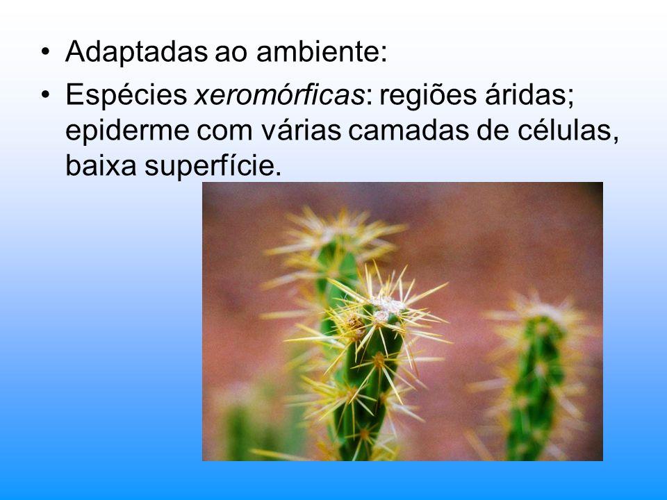 Adaptadas ao ambiente: Espécies xeromórficas: regiões áridas; epiderme com várias camadas de células, baixa superfície.