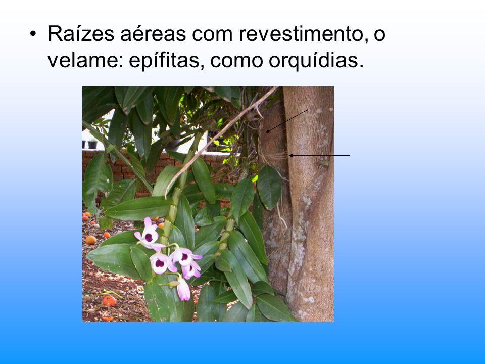 Raízes aéreas com revestimento, o velame: epífitas, como orquídias.