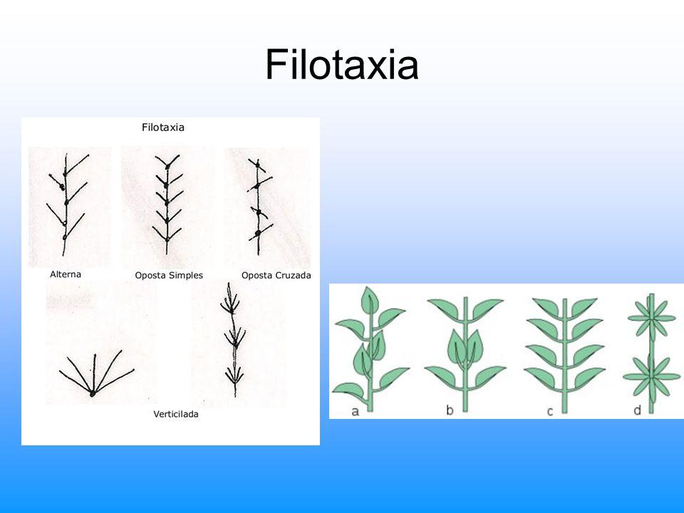 Filotaxia