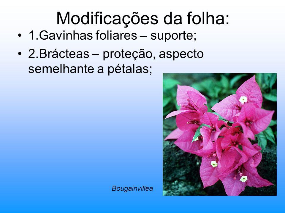 Modificações da folha: 1.Gavinhas foliares – suporte; 2.Brácteas – proteção, aspecto semelhante a pétalas; Bougainvillea