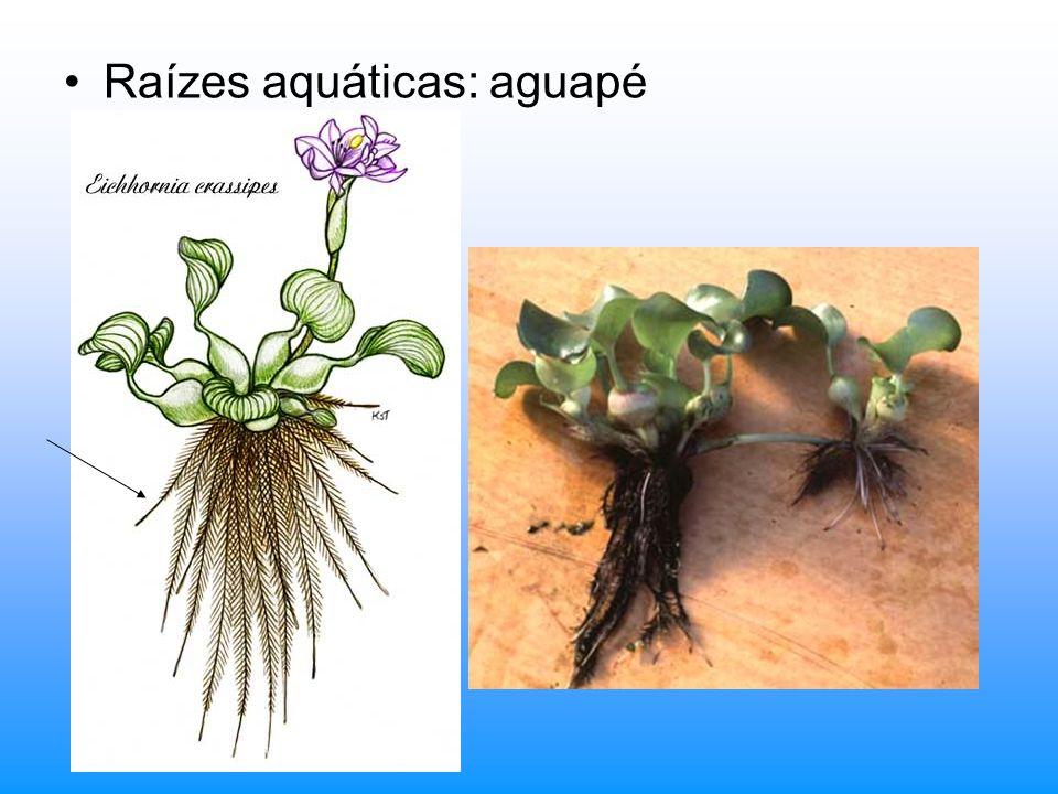 4. Espinhos foliares: limbo não se desenvolveu. Cactus