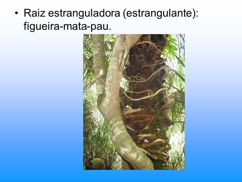 Raiz estranguladora (estrangulante): figueira-mata-pau.