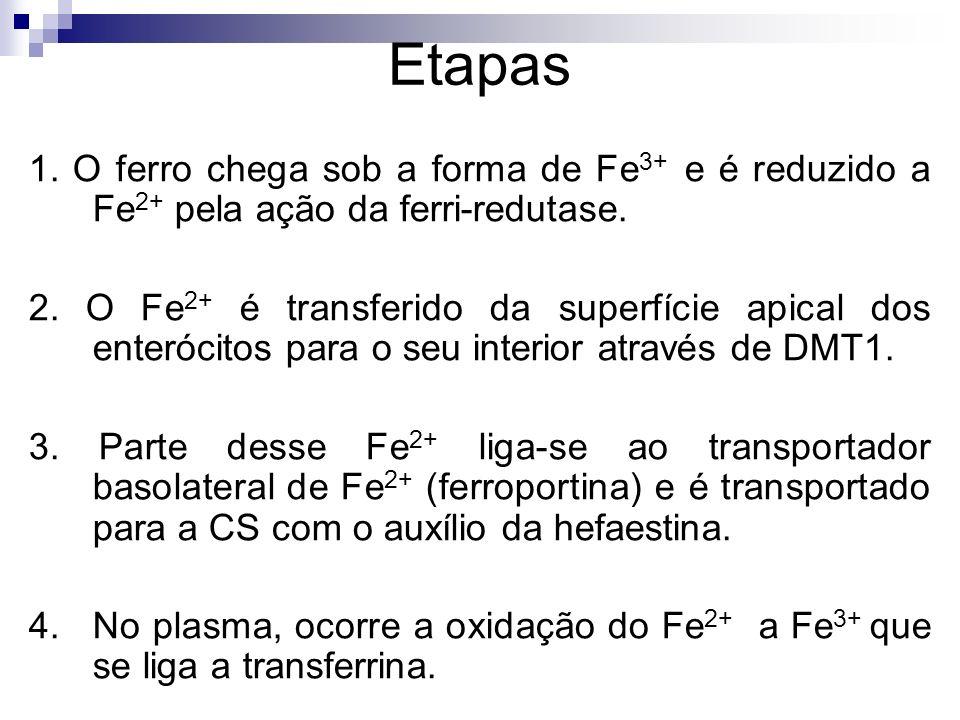 Etapas 1. O ferro chega sob a forma de Fe 3+ e é reduzido a Fe 2+ pela ação da ferri-redutase. 2. O Fe 2+ é transferido da superfície apical dos enter