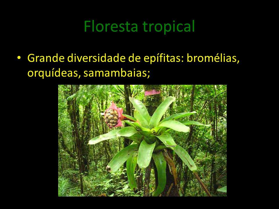 Floresta tropical Grande diversidade de epífitas: bromélias, orquídeas, samambaias;