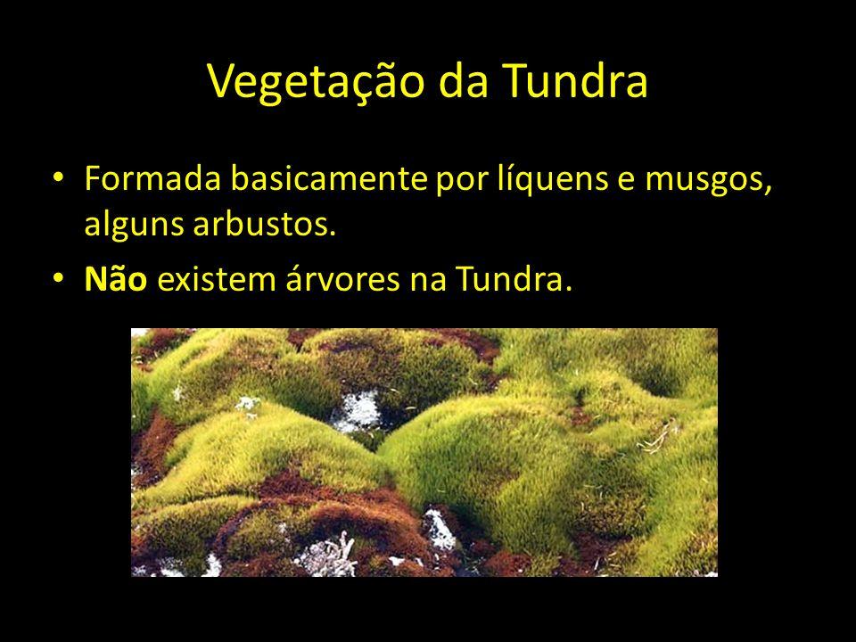 Vegetação da Tundra Formada basicamente por líquens e musgos, alguns arbustos. Não existem árvores na Tundra.