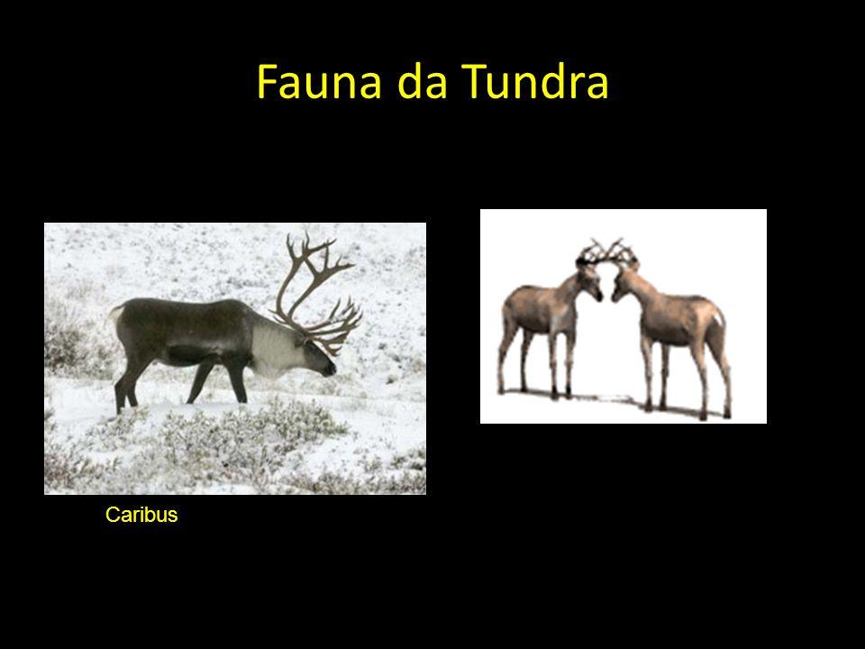 Fauna da Tundra Caribus