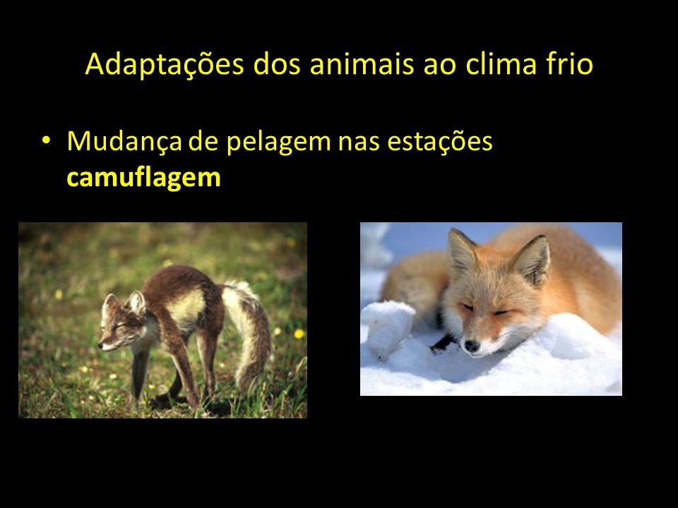 Adaptações dos animais ao clima frio Mudança de pelagem nas estações camuflagem Raposa do ártico
