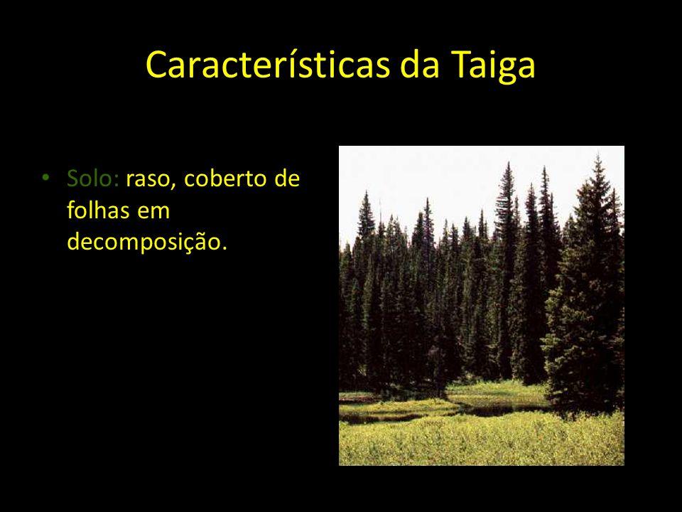 Características da Taiga Solo: raso, coberto de folhas em decomposição.