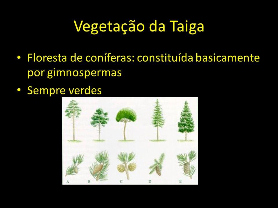 Vegetação da Taiga Floresta de coníferas: constituída basicamente por gimnospermas Sempre verdes