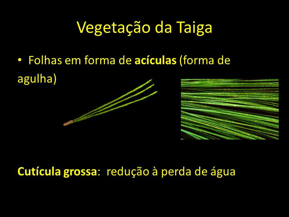 Vegetação da Taiga Folhas em forma de acículas (forma de agulha) Cutícula grossa: redução à perda de água