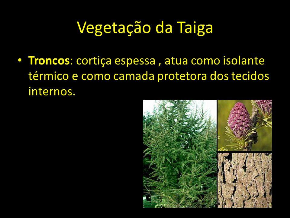 Vegetação da Taiga Troncos: cortiça espessa, atua como isolante térmico e como camada protetora dos tecidos internos.