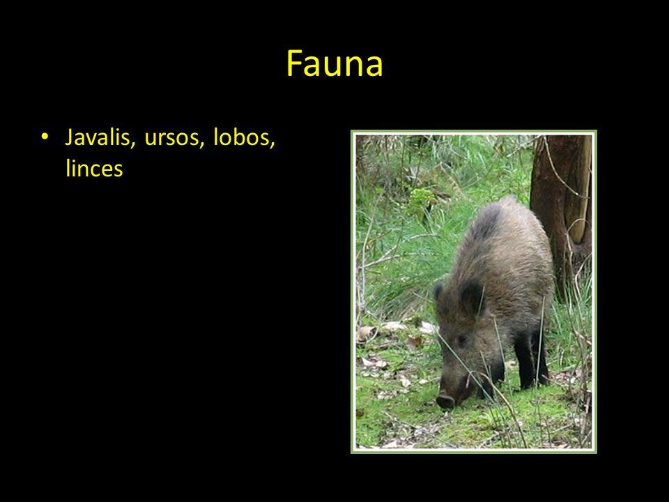 Fauna Javalis, ursos, lobos, linces