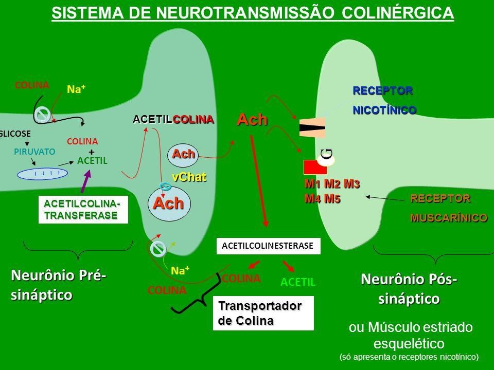 Neurônio Pré- sináptico Neurônio Pós- sináptico SISTEMA DE NEUROTRANSMISSÃO COLINÉRGICA ACETILCOLINA Ach vChat Ach Transportador de Colina Na + ACETIL