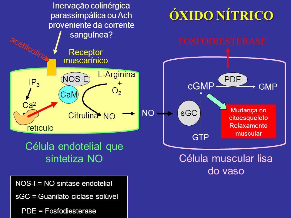Receptor muscarínico acetilcolina Ca 2 + NOS-E CaM L-Arginina + O2O2 NO Célula endotelial que sintetiza NO Célula muscular lisa do vaso NO sGC GTP cGM