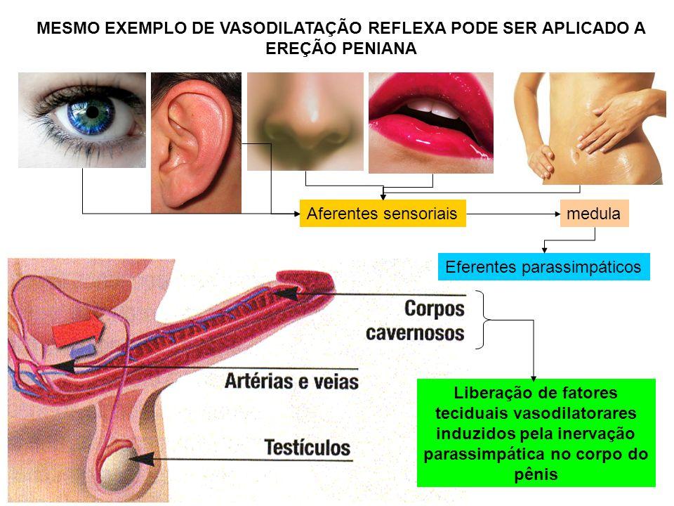 MESMO EXEMPLO DE VASODILATAÇÃO REFLEXA PODE SER APLICADO A EREÇÃO PENIANA Liberação de fatores teciduais vasodilatorares induzidos pela inervação para