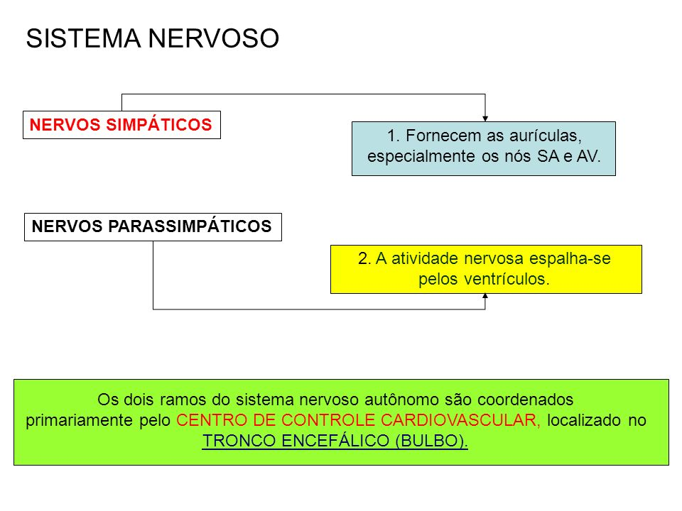 Os dois ramos do sistema nervoso autônomo são coordenados primariamente pelo CENTRO DE CONTROLE CARDIOVASCULAR, localizado no TRONCO ENCEFÁLICO (BULBO