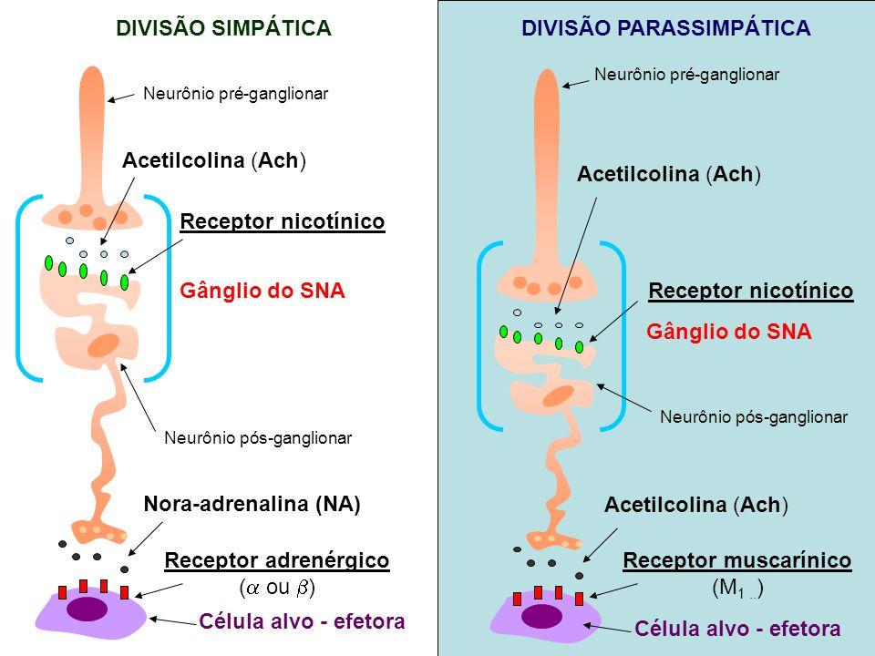 Acetilcolina (Ach) Neurônio pré-ganglionar Receptor nicotínico Neurônio pós-ganglionar Gânglio do SNA Receptor adrenérgico ( ou ) Nora-adrenalina (NA)