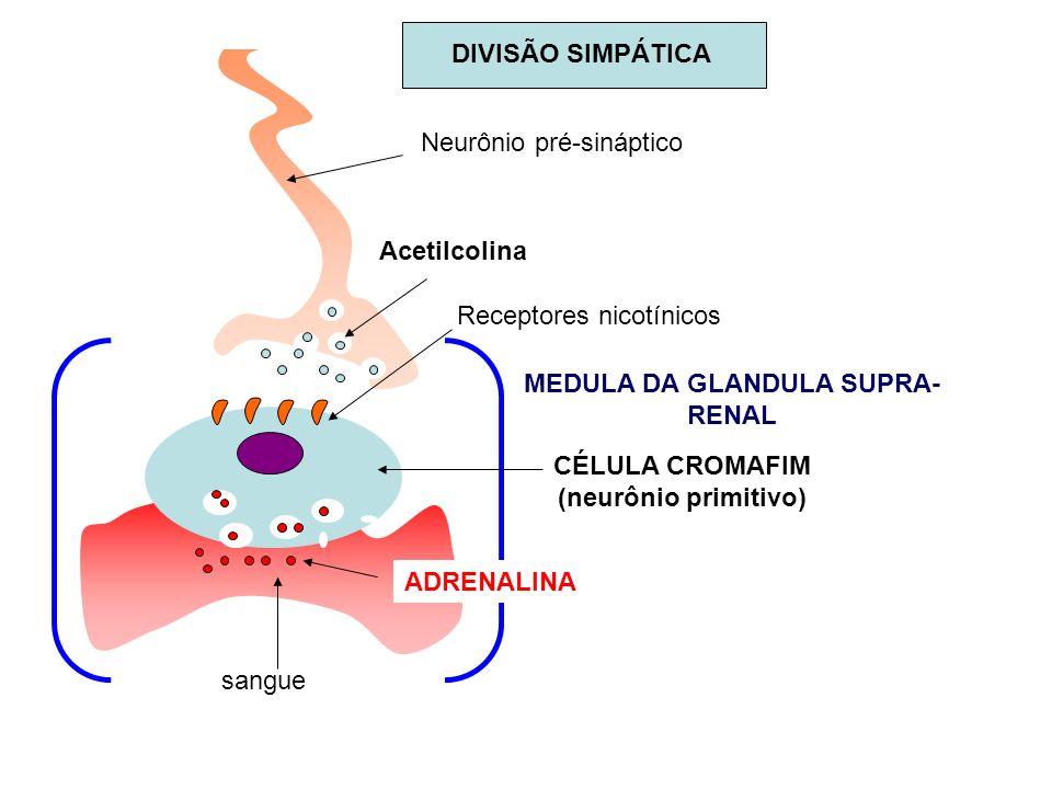MEDULA DA GLANDULA SUPRA- RENAL sangue ADRENALINA CÉLULA CROMAFIM (neurônio primitivo) Receptores nicotínicos Acetilcolina Neurônio pré-sináptico DIVI