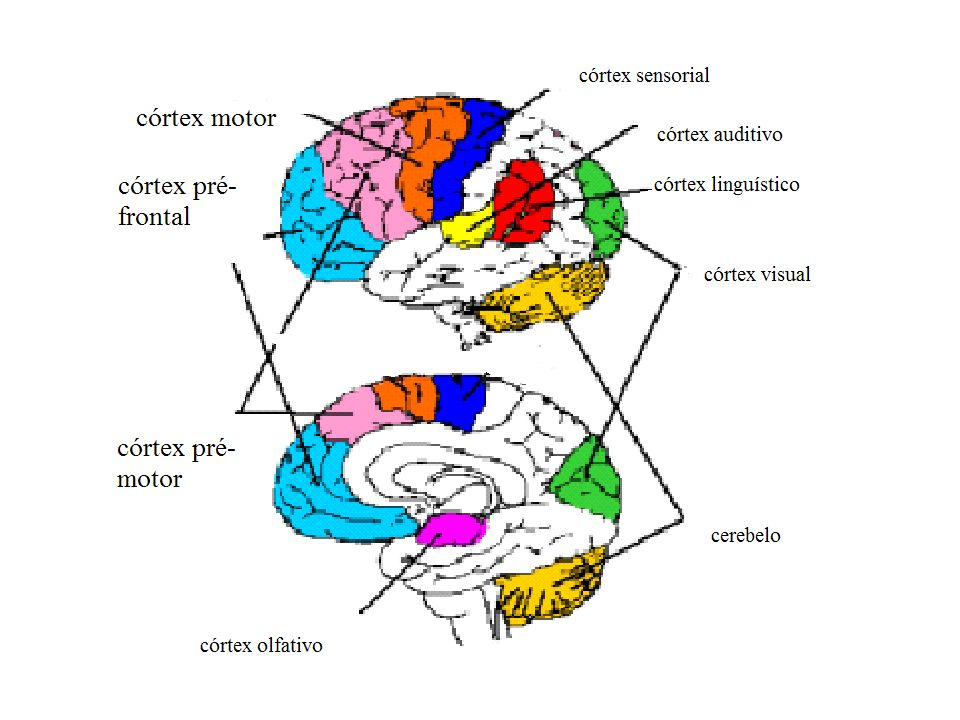 I – camada molecular II – camada granular externa III – camada de células piramidais IV – camada granular interna V – camada de células piramidais gigantes VI – camada de células fusiformes e polimórficas Camadas do Córtex