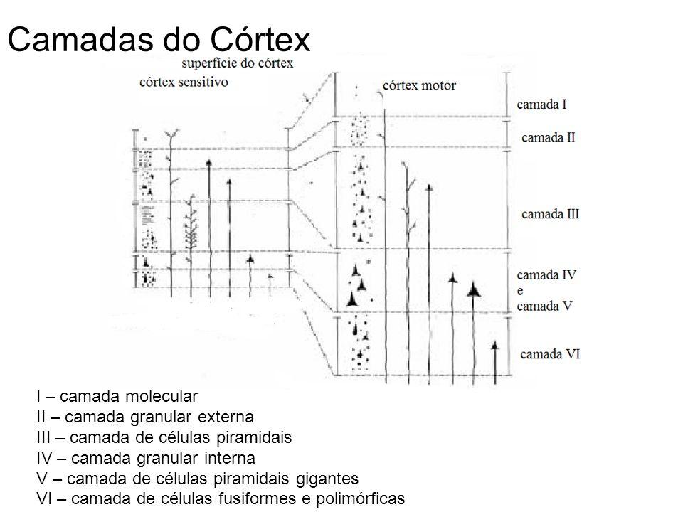 Funções dos neurônios nas diversas camadas do córtex sensorial – o sinal sensorial recebido excita de início a camada IV; daí o sinal se espalha tanto para a superfície do córtex como para as camadas mais profundas.
