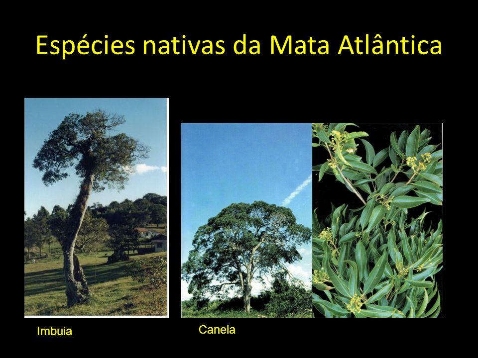 Espécies nativas da Mata Atlântica Imbuia Canela
