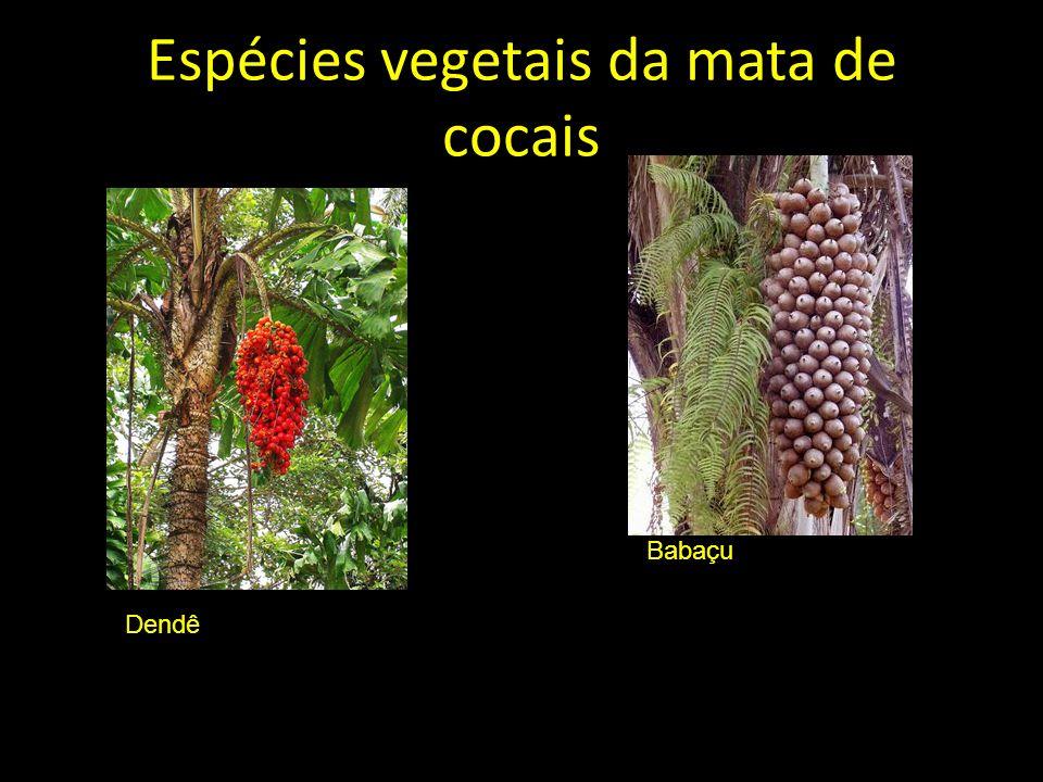 Babaçu Espécies vegetais da mata de cocais Dendê