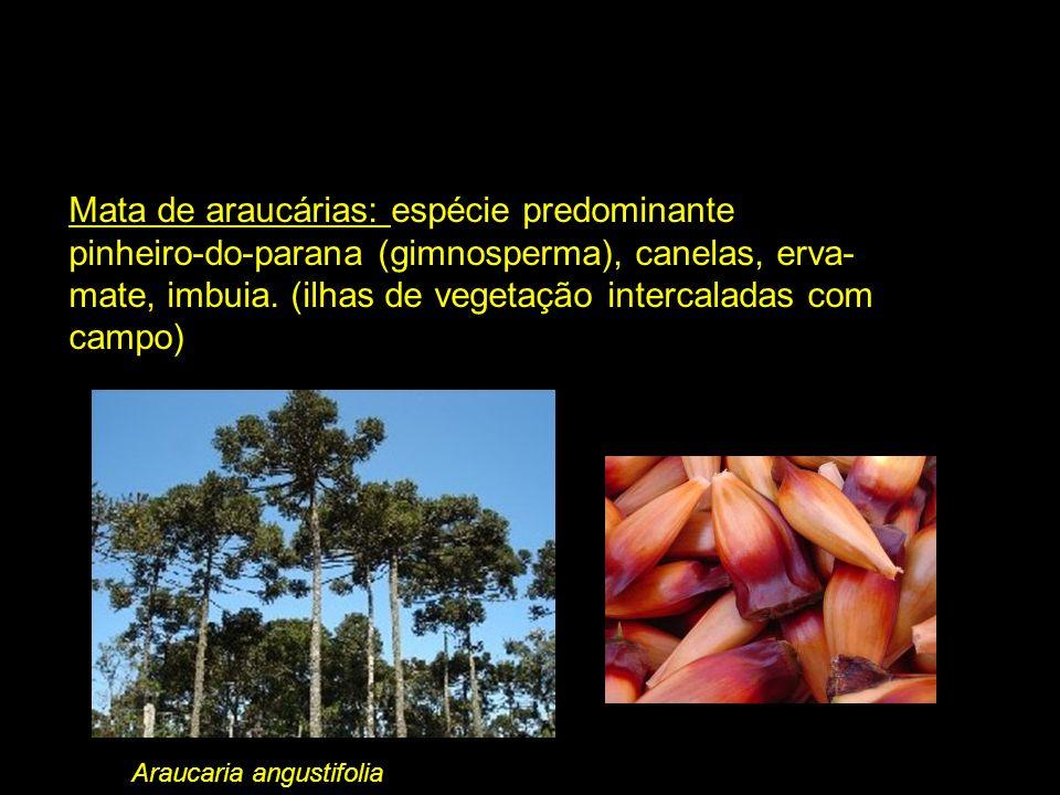 Mata de araucárias: espécie predominante pinheiro-do-parana (gimnosperma), canelas, erva- mate, imbuia. (ilhas de vegetação intercaladas com campo) Ar