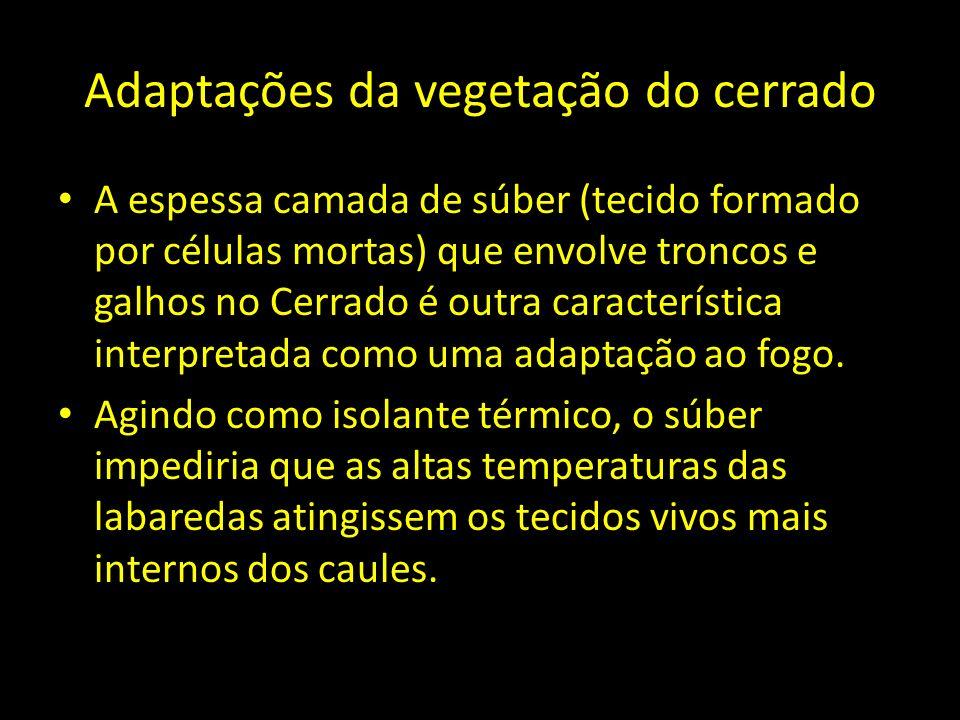Adaptações da vegetação do cerrado A espessa camada de súber (tecido formado por células mortas) que envolve troncos e galhos no Cerrado é outra carac