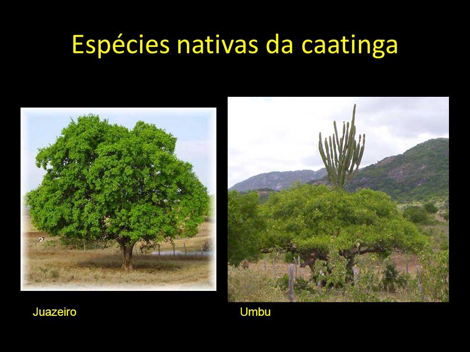 Espécies nativas da caatinga JuazeiroUmbu