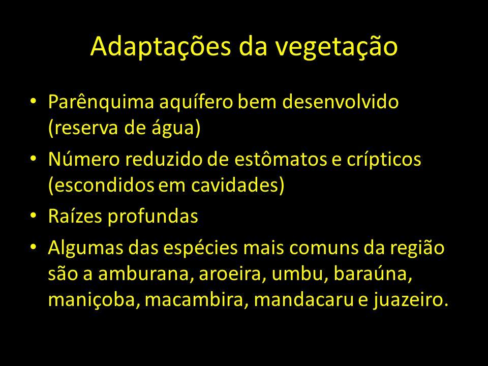 Adaptações da vegetação Parênquima aquífero bem desenvolvido (reserva de água) Número reduzido de estômatos e crípticos (escondidos em cavidades) Raíz